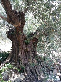 El llanto de las oliveras centenarias