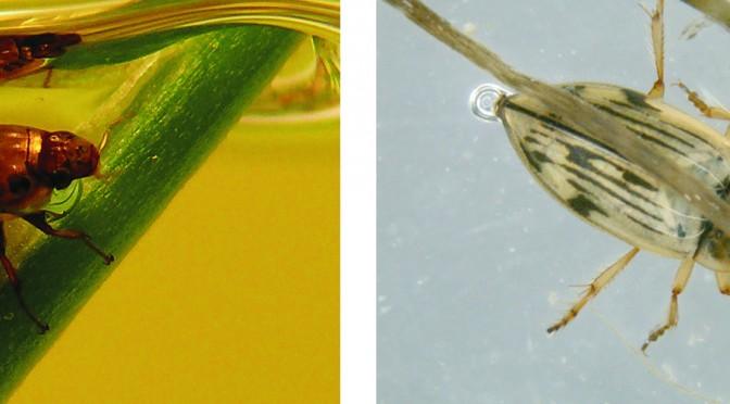 La UMU investiga cómo la salinidad y la aridez afectan a los escarabajos acuáticos