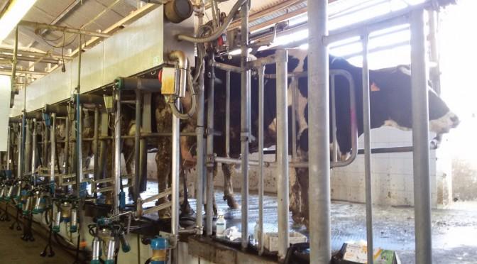 Investigadores de la Universidad de Murcia consiguen optimizar el ordeño vacuno teniendo en cuenta el bienestar animal