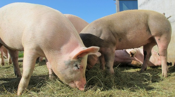 Un proyecto en el que participa la UMU busca eliminar el uso de antibióticos en la alimentación del ganado porcino