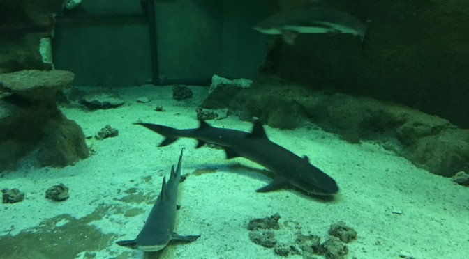 El acuario de la Universidad de Murcia cede un tiburón macho de puntas negras al Oceanogràfic de Valencia para buscarle pareja