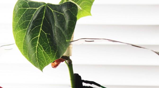 La UMU pone a prueba la inteligencia de las plantas trepadoras para controlar sus movimientos